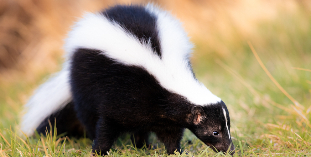 Skunk Proofing Your Yard