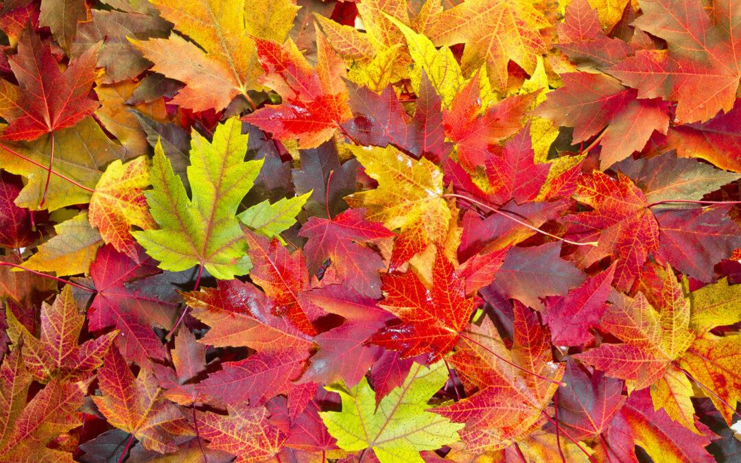 Loose Leaf Collection Begins November 2