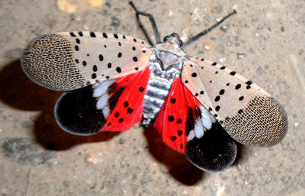 Spotted Lanternfly Information